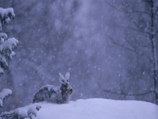 обои Зайка в снегу фото
