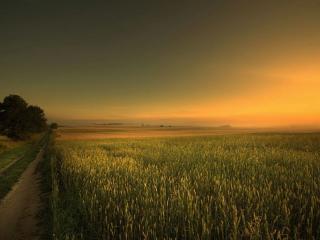 обои для рабочего стола: Дорога через зелёное пшеничное поле