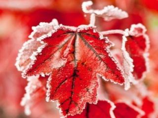 обои Замёрзшие красные листья фото