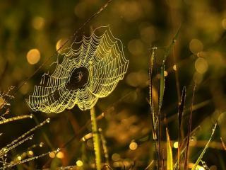 обои Паутинка с пауком фото