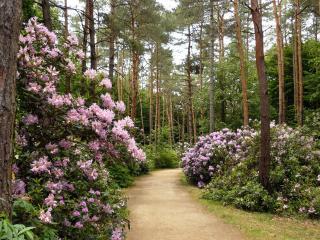 обои Цветущие кустарники возле дорожки в сосновом парке фото