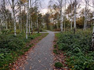 обои Опадающая листва берез на перекрестке аллей фото