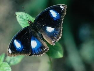 обои Чёрная бабочка с пятнами фото