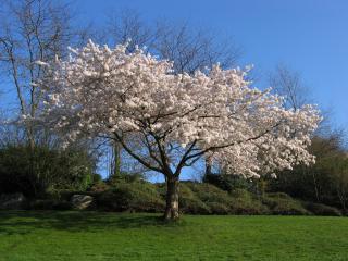 обои Цветущее весеннее дерево, с роскошной кроной фото