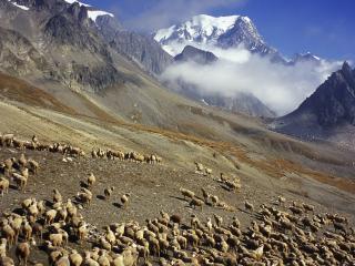 обои Стада баранов в горах фото