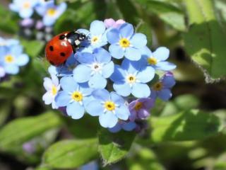 обои Божья коровка на синих цветочках фото