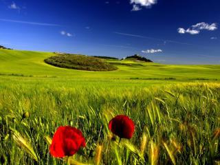 обои Зелёное поле и два красных мака фото