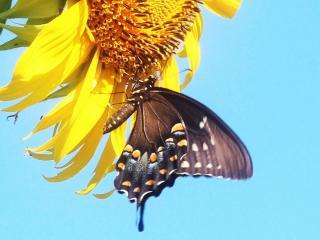 обои Бабочка на подсолнухе фото