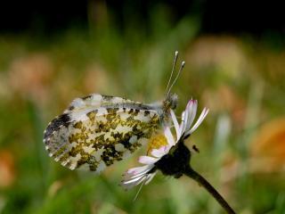 обои Белая бабочка сидит на ромашке фото
