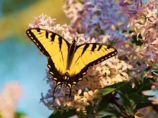 обои Бабочка на сирени фото