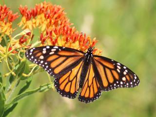 обои Бабочка на цветах фото