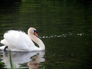обои Белый лебедь фото
