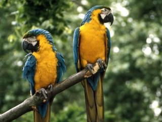 обои Два попугая фото