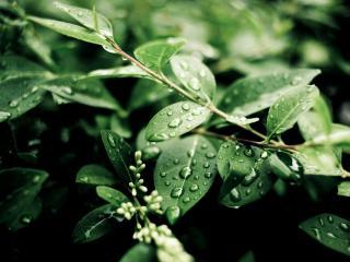 обои Капельки воды на зелых листьях фото