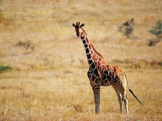 обои Взрослый жираф стоит в саванне фото