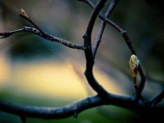 обои для рабочего стола: Распускаются почки на ветке весной