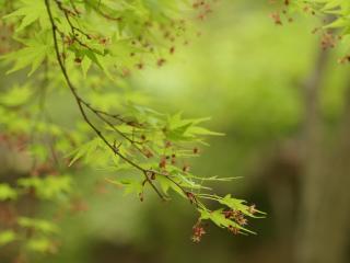 обои Свежая зелень листвы и цветение фото