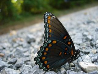 обои Темная бабочка на камнях фото