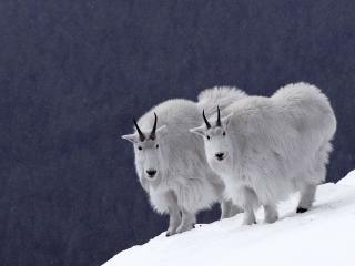 обои Пушистые горные козы фото