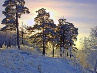 обои Солнце сквозь снежные сосны фото