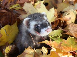 обои Хорёк в осенних листьях фото