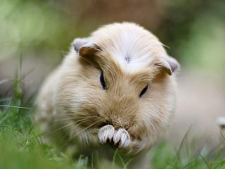 обои Морская свинка в траве фото