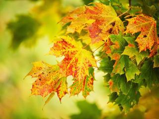 обои Золотит листья клена осень фото