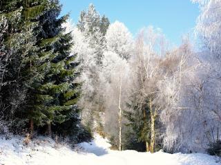 обои Деревья леса в инее, зимним днeм фото