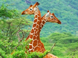обои Два длинных пятнистых жирафа фото