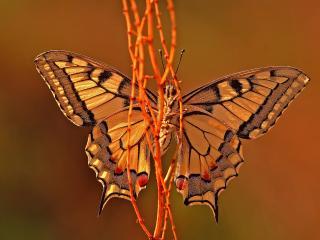 обои Бабочка у оранжевого стебелька фото
