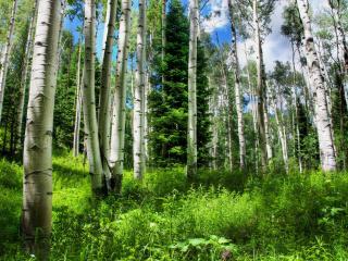 обои Красивый березoвый лес фото
