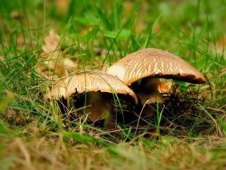 обои Поганки в траве фото