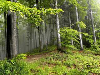 обои Лес на холме с ровными деревьями фото