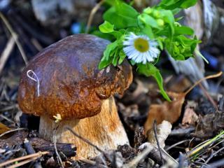 обои Боровик гриб и цветочек фото