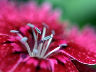 обои Розовая лилия расцвела фото