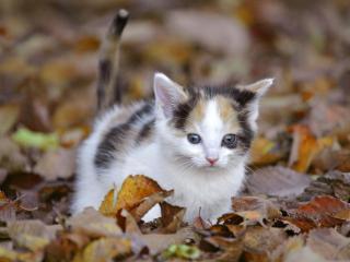 обои Трехмастный котенок в осенней листве фото