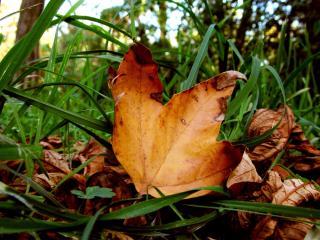 обои Листва желтая в траве зеленой фото
