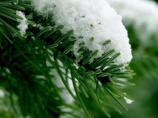 обои Снег на зеленых иголках хвои фото
