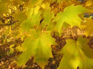 обои Кленовый лист в стадии желтения фото