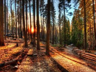 обои Дорожка в соcновом лесу фото