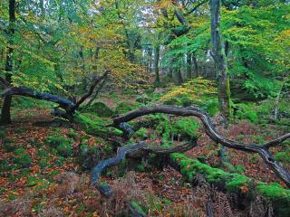 обои для рабочего стола: Мертвые деревья покрытые мхом в старом лесу