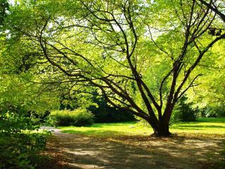 обои Роскошное дерево у парковой аллеи фото