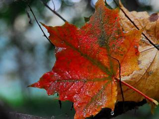 обои Дождливой порою листочек клена фото