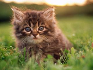 обои Пушистый маленький котенок среди травы фото