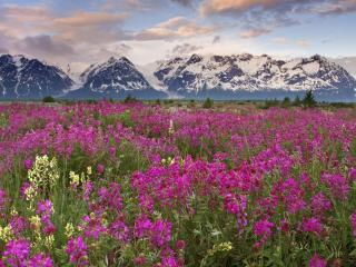обои Поле цветов на фоне гор фото
