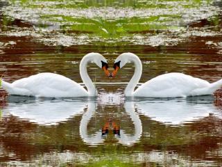обои Изящные лебеди фото