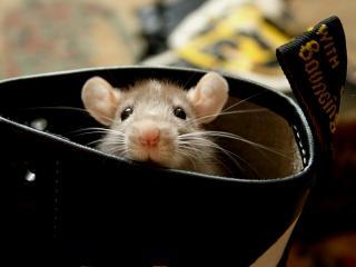 обои Мышка выглядывает фото
