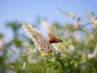 обои Бабочка на конусообразном соцветьи фото