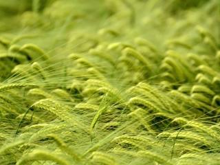 обои Колоски с усиками зеленые фото