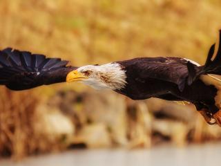 обои Размах крыльев орла фото
